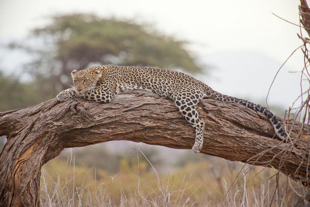 Leopard liegt entspannt auf einem Ast