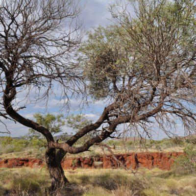 Australischer alter Baum im Outback