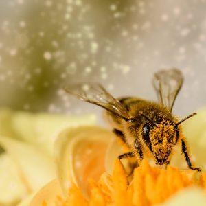 mit Pollen bestäubte Biene auf einer gelben Blüte