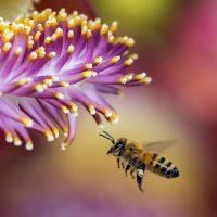 Biene fliegt zu einer lilafarbenen Blüte