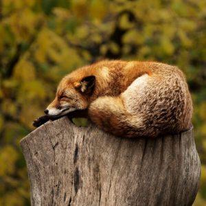 Fuchs schläft auf einem Holzstamm